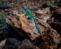 Collared Lizard, Wupatki National Monument, Arizona