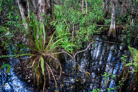 Corkscrew Swamp Sanctuary, Naples, Florida